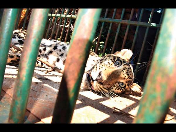 In HD Kote Leopard – Tiger attacks increasing day by day