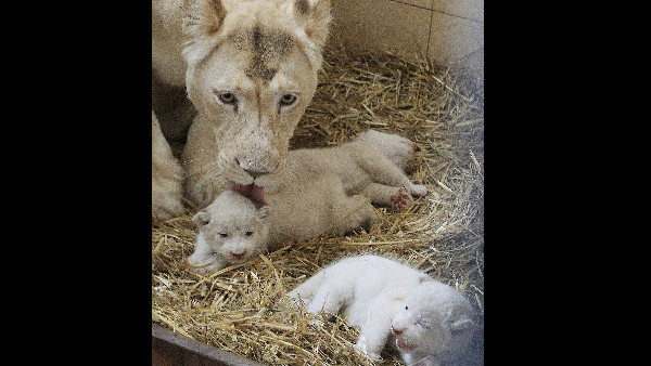 Two white lions will arrive to Bannerghatta biological park soon