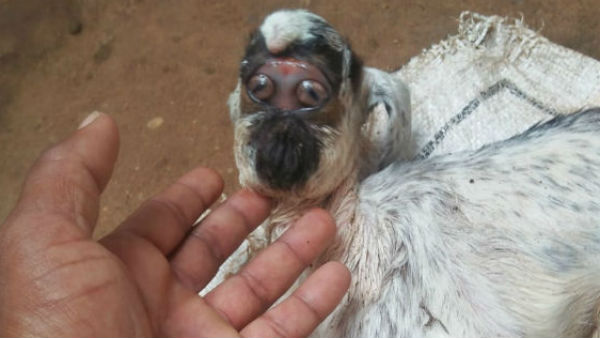 Bizarre news; Goat face which look like human face in Mysuru