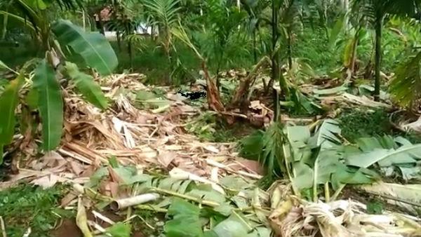 ದಕ್ಷಿಣ ಕನ್ನಡ ಜಿಲ್ಲೆಯಲ್ಲಿ ಕಾಡಾನೆಗಳ ಹಾವಳಿ, ಕೃಷಿ ನಾಶ