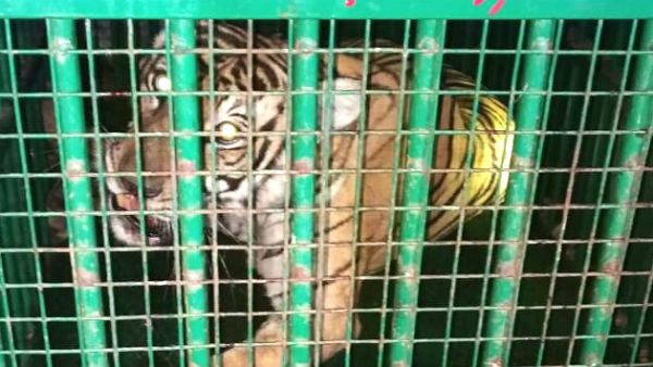 The tiger trapped at hd kote