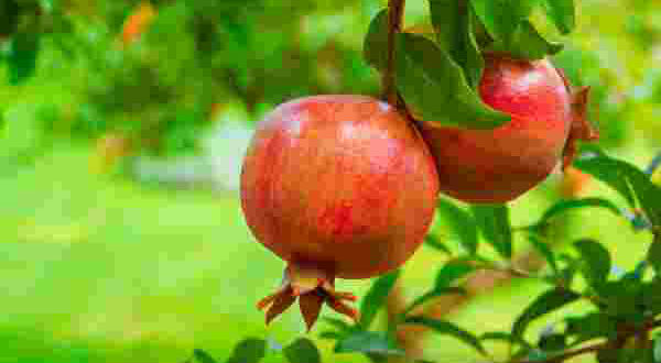 Pomegranate cultivation success story of Koppal farmer
