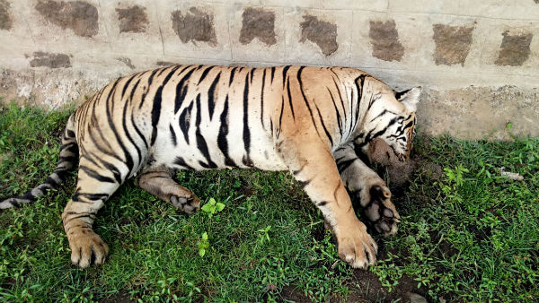 Tiger death in bheemanakatte in piriyapattana