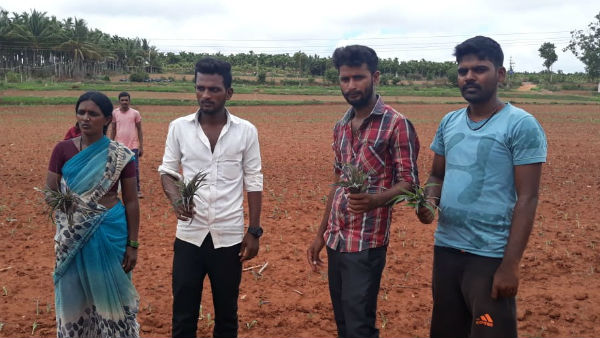 miscreants sprayed disinfectant and destroyed the maize crop in davanagere