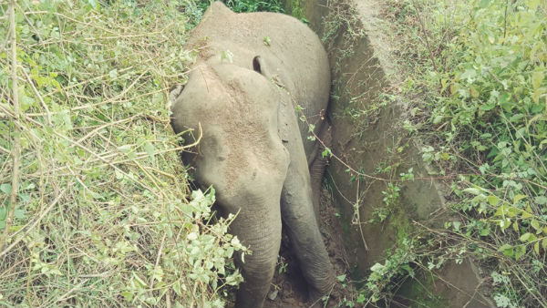 elephant came in search of food and stuck in nagarahole village