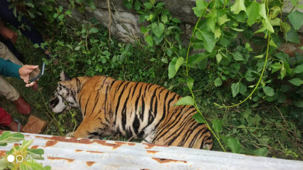 Tiger suspiciously died in Bandipur tiger reserve limit