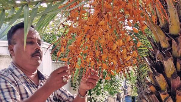 Date palm tree grown in Kapu
