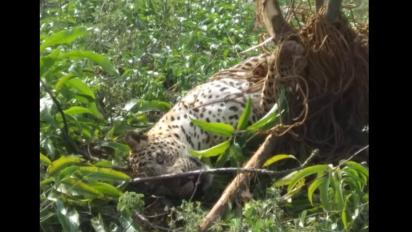 Four year old leopard died in chikkamagaluru