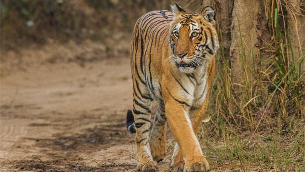 Tiger Census 2018 Madhya Pradesh Beats Karnataka To Reclaim Tiger State Tag