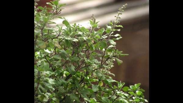 ಉಡುಪಿ ಶ್ರೀಕೃಷ್ಣನ ವಿಗ್ರಹ ಅಲಂಕರಿಸುವ ತುಳಸಿ ದಳ ಔಷಧಿಗೆ ಬಳಕೆ
