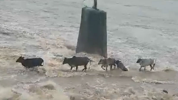 Four Cattle Drowned Surya River Floods Maharashtra Varoti Viral Video