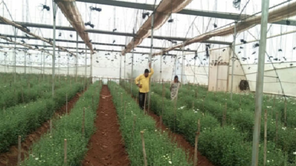 Success Story Of Farmer Who Cultivate Chrysanthemum