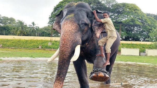 Political interference on dassara elephant Arjuna mautha selection