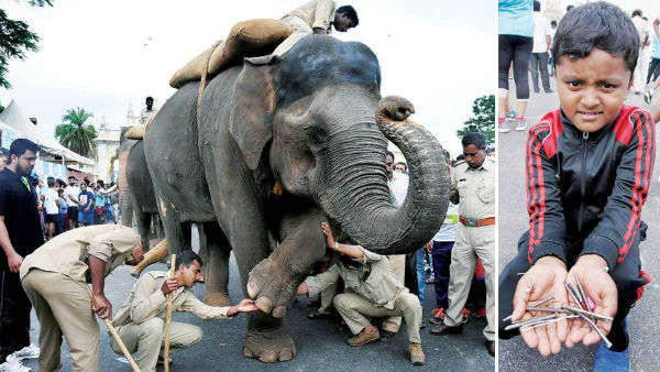 Two Nails Stucked To The Legs OF Dasara Elephant Cauvery