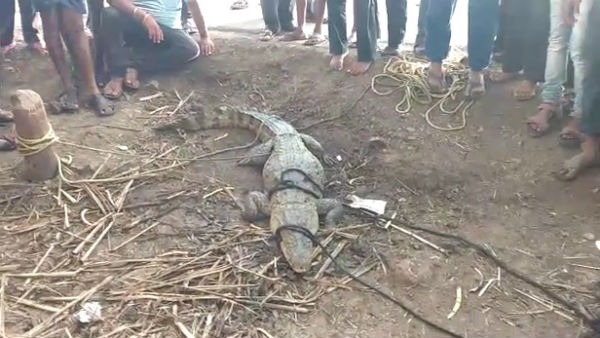 Crocodile Came With Flood Water In Chikkodi