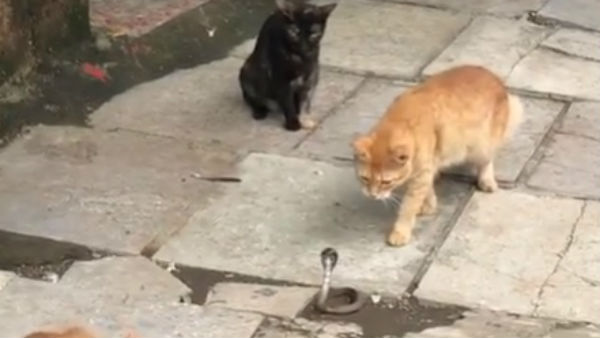 Four cats fight against Snake in a Shocking Video
