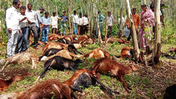 60 Sheep Death By Bacterial Infection In Shikaripura