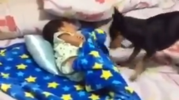 Viral Video: Dog Nurtures A Baby Who Is Sleeping