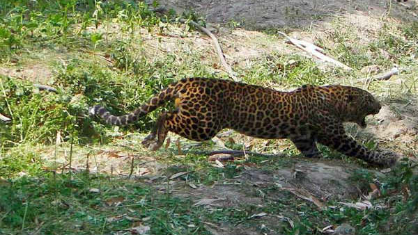 Woman Killed By Leopard In Tumakuru