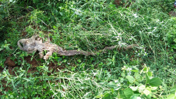 Seven Headed Snake Sheath Found In Ramanagar Again