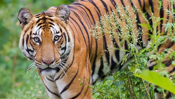 We Will Catch Or Kill Man Eating Tiger Of Gundupete: Forest Department