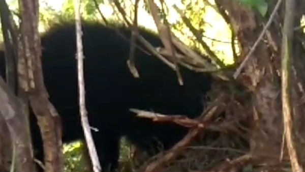 Bear Groaning By Stucking In Hunting Roll In Molakalmuru