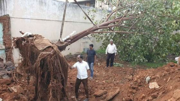 Achilles Tree Shifted One Place To Another Place In Mysore