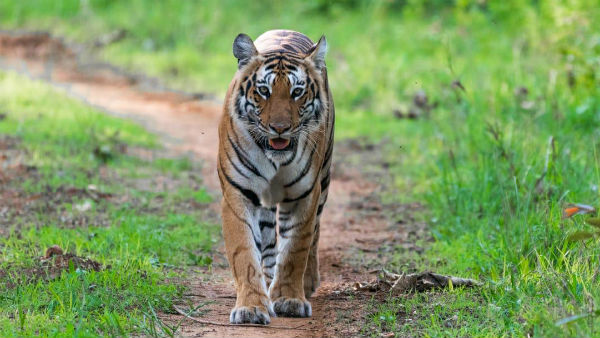 NTCA Ordered Not To Call Tiger As Maneater