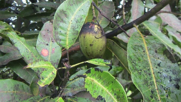 Various Disease For Mango Crop And Measures