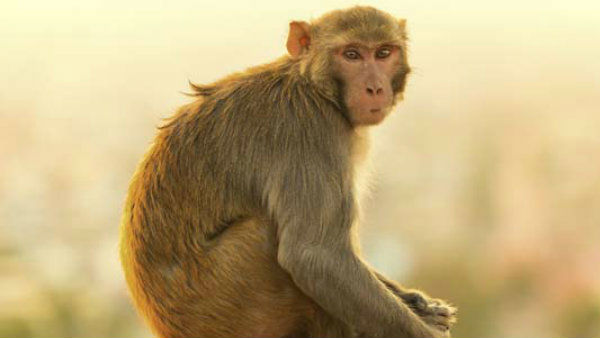 Karnataka Govt Approves For Set Up Monkey Park