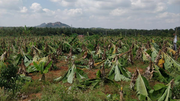 15 Lakh Worth Crops Destroyed In Kanakapura