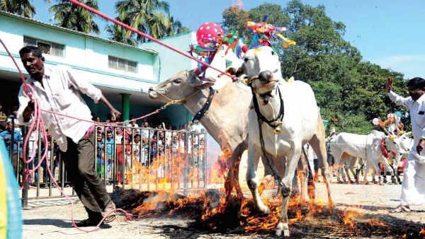Sankranti Festival Of Joy And Happiness