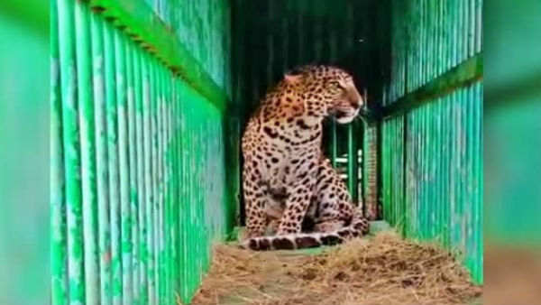 Leopard Catches By Forest Department In Mysuru