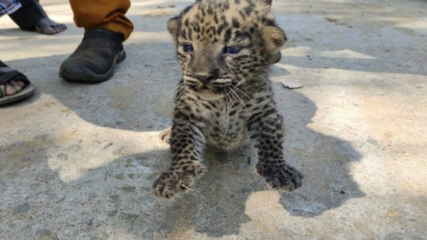 Leopard Cub Appeared Between Cane Field In Mirle Village In KR Nagar