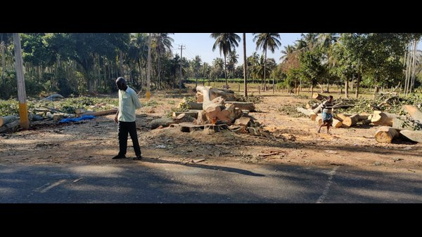 Large Banyan Tree Cut Down For Building Private Layout In Magadi