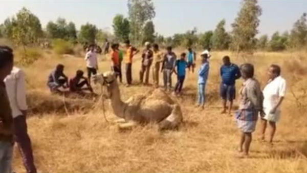 Sick Camel Found In Vemagal