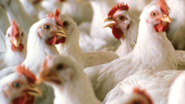No Coronavirus Did Not Spread From Chicken