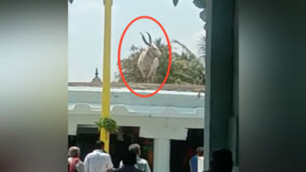Basava The Gods Cattle Climbed On Temple In Haradanahalli