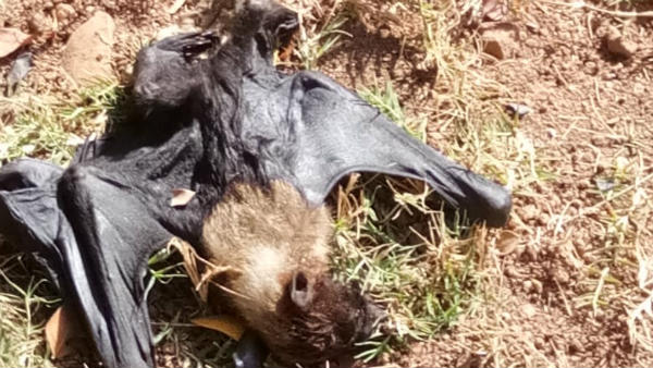 Hundreds Of bats Died In Theerthahalli