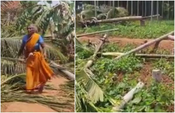 170 ಅಡಿಕೆ ಮರ ಕಡಿದ ಅಧಿಕಾರಿಗಳು: ಅಜ್ಜಿಯ ಆಕ್ರಂದನ
