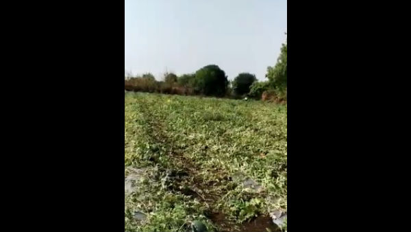 Chincholli Farmer Commits Suicide By Not Supplying Watermelon