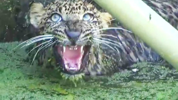 Forest Department Rescued Leopard From Water Tank In Kanakapura