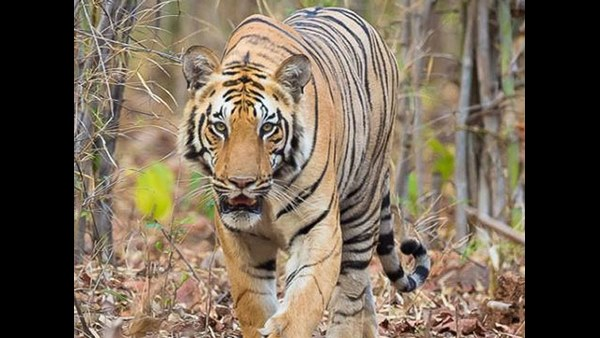 Tiger Killing Cattles In Gundlupete Forest Area Since 6 Days