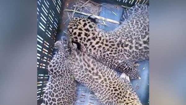 Six Leopard Cubs Visible In Cane Fields At Mysuru