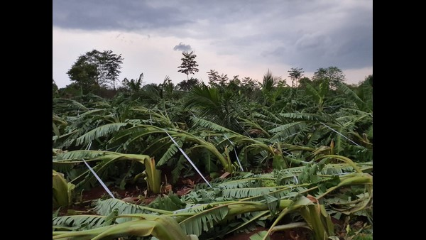 Silk And Banana Trees Destroyed By Heavy Rain In Ramanagar