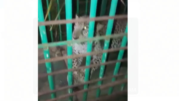 Leopard Captured By Forest Department In Chitradurga