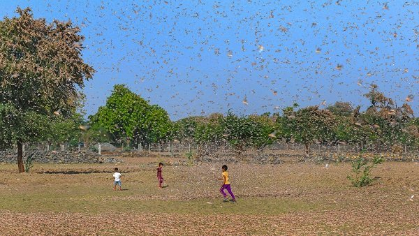 Locust Spreads To Maharashtra, UP High Alert In Punjab
