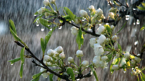 Rain Cheers And Brings Happiness In Narasingaraya Heart
