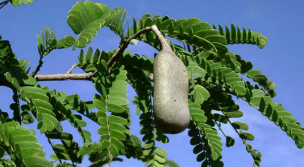 Narasingaraya Got A Dream Of Destroying Tamarind Trees