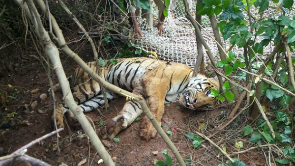 Tiger Which Was Attacking Cattles In Gundlupete Captured Today